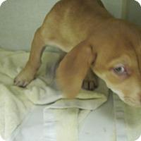 Adopt A Pet :: Finn - Albuquerque, NM