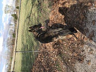 German Shepherd Dog Dog for adoption in Edmond, Oklahoma - Jack
