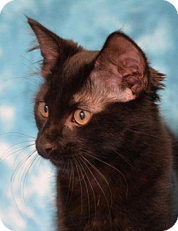 Domestic Mediumhair Cat for adoption in Eureka, California - Jeanette