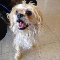 Shih Tzu Mix Dog for adoption in Dover, Delaware - Cupid