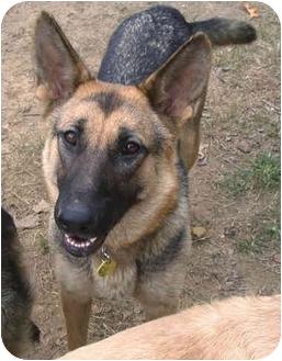 German Shepherd Dog Dog for adoption in Brattleboro, Vermont - Ellie