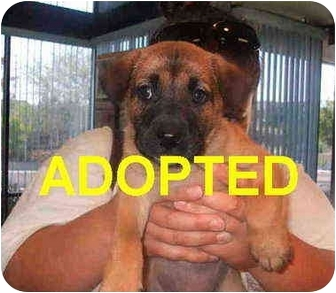German Shepherd Dog/Belgian Malinois Mix Puppy for adoption in Olympia, Washington - A026436