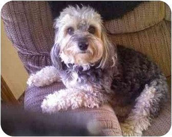 Poodle (Miniature)/Yorkie, Yorkshire Terrier Mix Dog for adoption in Berea, Ohio - Lucky-Courtesy post