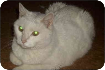 Domestic Shorthair Cat for adoption in Plymouth, Massachusetts - Snowfa