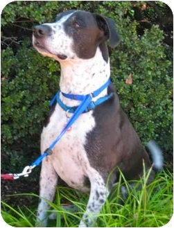 Labrador Retriever/Pointer Mix Dog for adoption in Portland, Oregon - Ziggy-VIDEO!!!!!