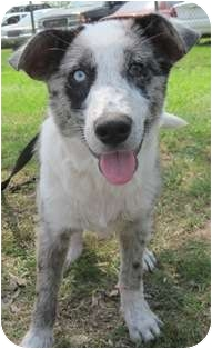 Australian Shepherd Mix Puppy for adoption in Kingwood, Texas - Jack