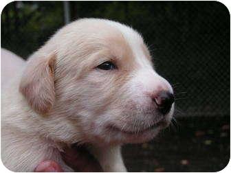 Labrador Retriever Mix Puppy for adoption in Rigaud, Quebec - Winston