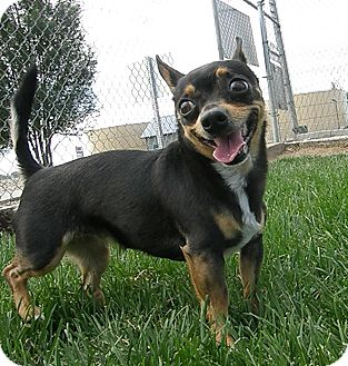 Miniature Pinscher/Chihuahua Mix Dog for adoption in Meridian, Idaho - Lilo