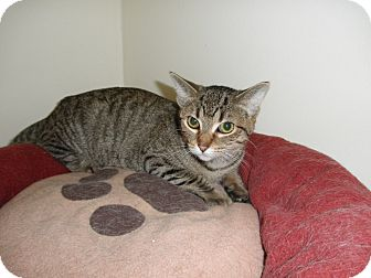 Domestic Shorthair Cat for adoption in Milwaukee, Wisconsin - Jennie