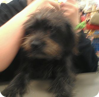 Cairn Terrier/Terrier (Unknown Type, Small) Mix Dog for adoption in Phoenix, Arizona - Niko - wirey cutie
