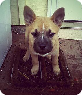 Akita/American Staffordshire Terrier Mix Puppy for adoption in Valley Center, California - Pink