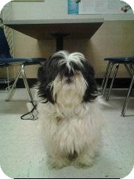 Shih Tzu Dog for adoption in staten Island, New York - wallie