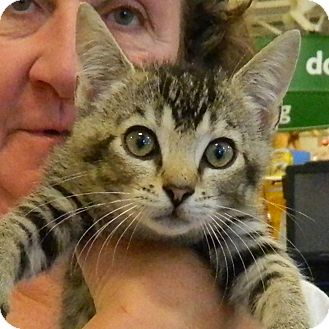 Domestic Shorthair Kitten for adoption in McCormick, South Carolina - James