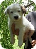 Border Collie/Australian Cattle Dog Mix Puppy for adoption in Staunton, Virginia - Buckaroo