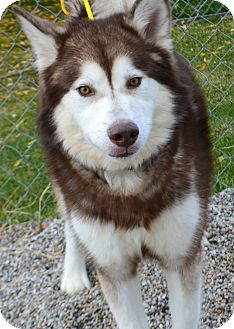 Alaskan Malamute Mix Dog for adoption in Fruit Heights, Utah - Pilgrim