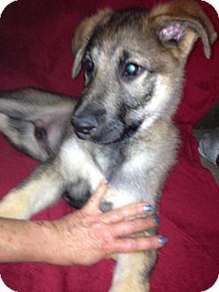 German Shepherd Dog Puppy for adoption in Portland, Maine - Dakota