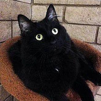 Maine Coon Cat for adoption in Phoenix, Arizona - Pepper