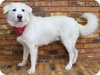 Great Pyrenees/Retriever (Unknown Type) Mix Dog for adoption in Benbrook, Texas - Maverick