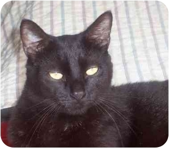 Domestic Shorthair Cat for adoption in Riverview, Florida - HeBe