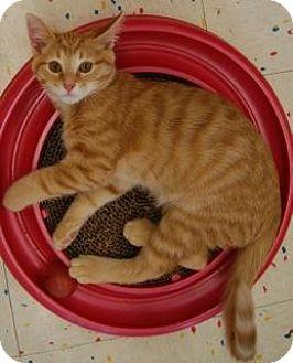 Domestic Shorthair Kitten for adoption in Hillside, Illinois - Larry