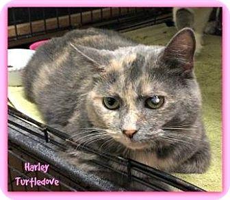 Domestic Shorthair Cat for adoption in Germantown, Ohio - Harley Turtledove
