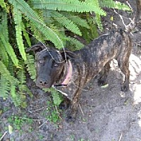 Plott Hound Mix Dog for adoption in Tampa, Florida - BELLA (CG)