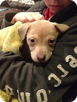 Pit Bull Terrier Puppy for adoption in Seahurst, Washington - BellaShay - Pending