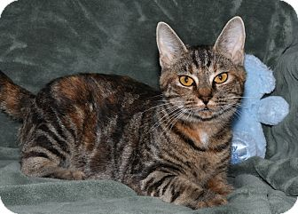 Domestic Shorthair Cat for adoption in Colonial Heights, Virginia - Happy