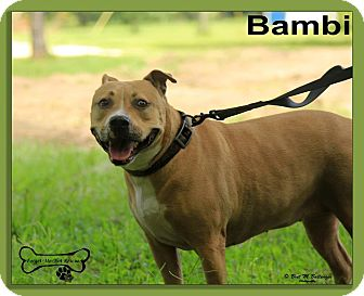 Pit Bull Terrier Mix Dog for adoption in Sarasota, Florida - Bambi