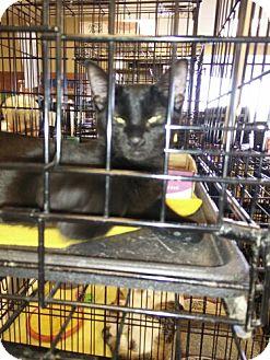 Domestic Shorthair Cat for adoption in Avon, Ohio - Giles