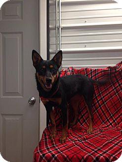 Blue Heeler Mix Dog for adoption in Covington, Virginia - Bonnie