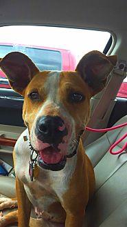 Australian Kelpie/American Bulldog Mix Dog for adoption in San antonio, Texas - Lilly