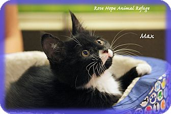 Domestic Shorthair Kitten for adoption in Waterbury, Connecticut - Max
