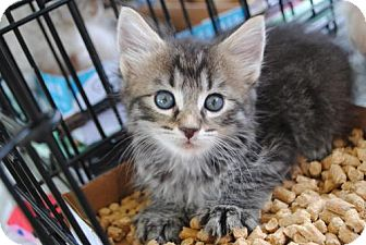 Domestic Longhair Kitten for adoption in Tallahassee, Florida - Lucy