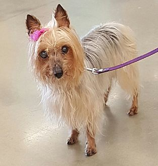 Silky Terrier Mix Dog for adoption in Mount Pleasant, South Carolina - Isabelle