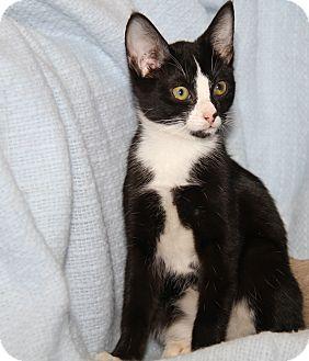Siamese Cat for adoption in Marietta, Ohio - Olivia