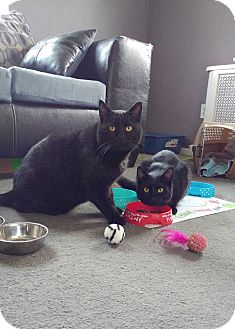 Domestic Shorthair Cat for adoption in Colmar, Pennsylvania - Mr. Mom