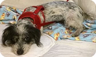 Dachshund/Terrier (Unknown Type, Small) Mix Dog for adoption in Phoenix, Arizona - Happy