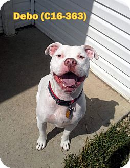 Pit Bull Terrier Mix Dog for adoption in Tiffin, Ohio - Debo