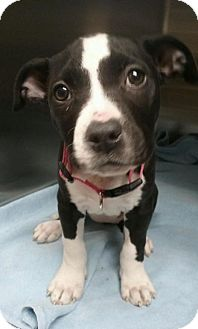 Pit Bull Terrier Puppy for adoption in Las Vegas, Nevada - Worms