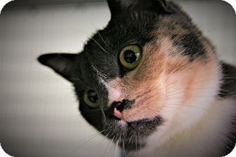Domestic Shorthair Cat for adoption in Diamond Springs, California - Lizzy