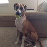Adopt A Pet :: Azzuri - Round Lake Beach, IL