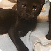 Adopt A Pet :: Felix - Los Angeles, CA
