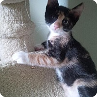 Adopt A Pet :: Colette - NYC, NY