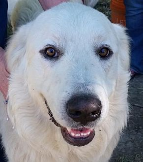 Great Pyrenees Mix Dog for adoption in Whitewright, Texas - BigWig