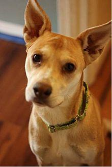German Shepherd Dog/Labrador Retriever Mix Dog for adoption in Fredericksburg, Virginia - Maggie