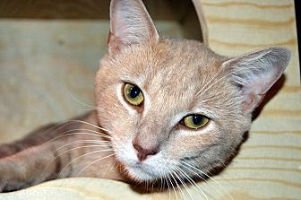 Domestic Shorthair Cat for adoption in Richmond, Virginia - Hamlin