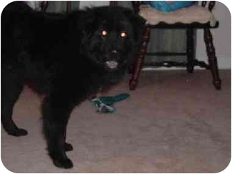 Border Collie/Chow Chow Mix Dog for adoption in canaan, New Hampshire - McKinsey