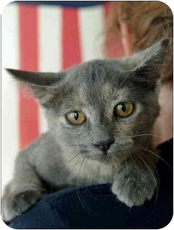 Domestic Shorthair Cat for adoption in Garland, Texas - Jussie