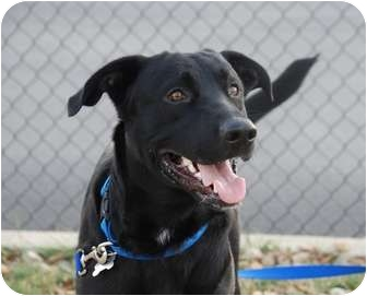 Labrador Retriever Mix Dog for adoption in Lewisville, Indiana - Bert